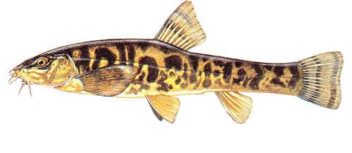 ankara çamur balığı ile ilgili görsel sonucu